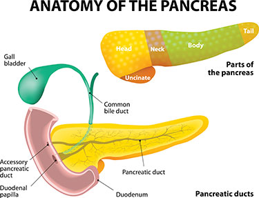 Anatomy-of-Pancreas